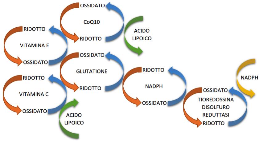 Stato nutrizionale, contributo di diversi nutrienti alla catena di risposta allo stress ossidativo